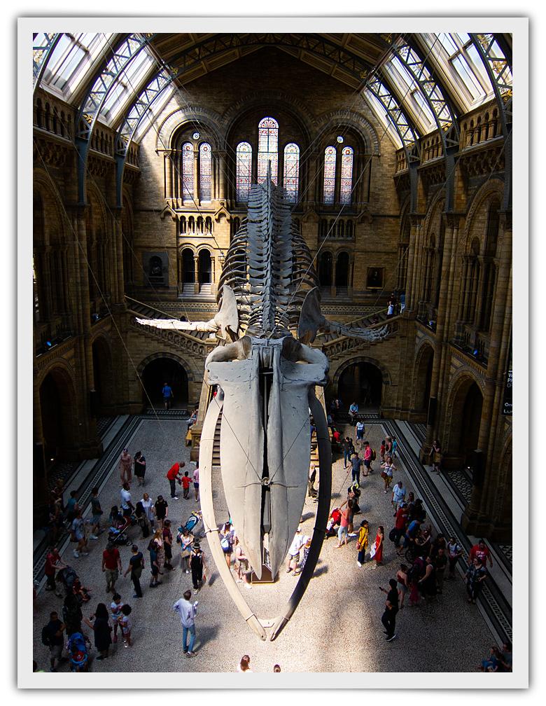 Esqueleto de Ballena suspendido sobre el hall de Museo de Historia Natural