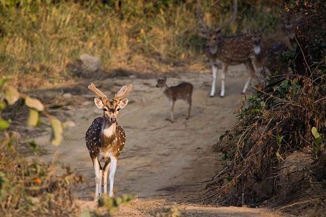 Deer in Jim Corbett National Park, Uttarakhand