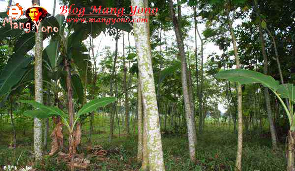 Ada Pohon sengon / Jeungjing ± 200 Pohon, Usia 3 Tahunan.