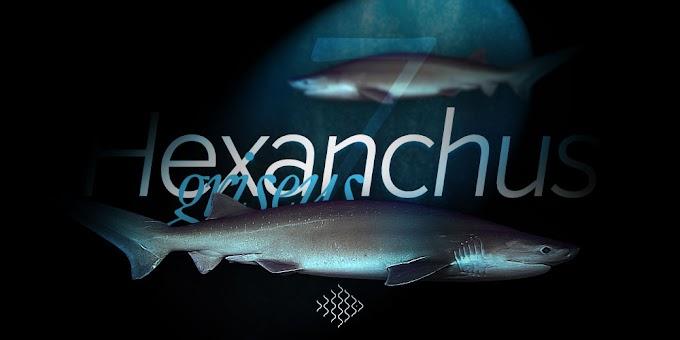 Hexanchus griseus - Denizde bulabileceğiniz en büyük köpekbalıkları - 7