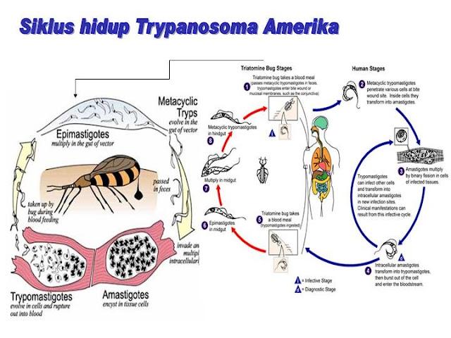 Siklus hidup Trypanosoma gambiense