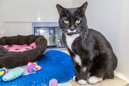 black and white cat sitting in adoption centre pen