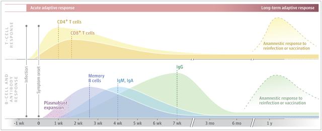 Imunitas aktif adaptif Covid-19 , grafik tentang imunitas pasien Covid-19 selama 3 bulan sampai satu tahun sel CD4 CD 8 sel B memori plasmablast, kurva sel T