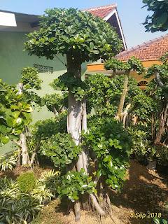 harga jual tanaman bonsai beringin korea murah