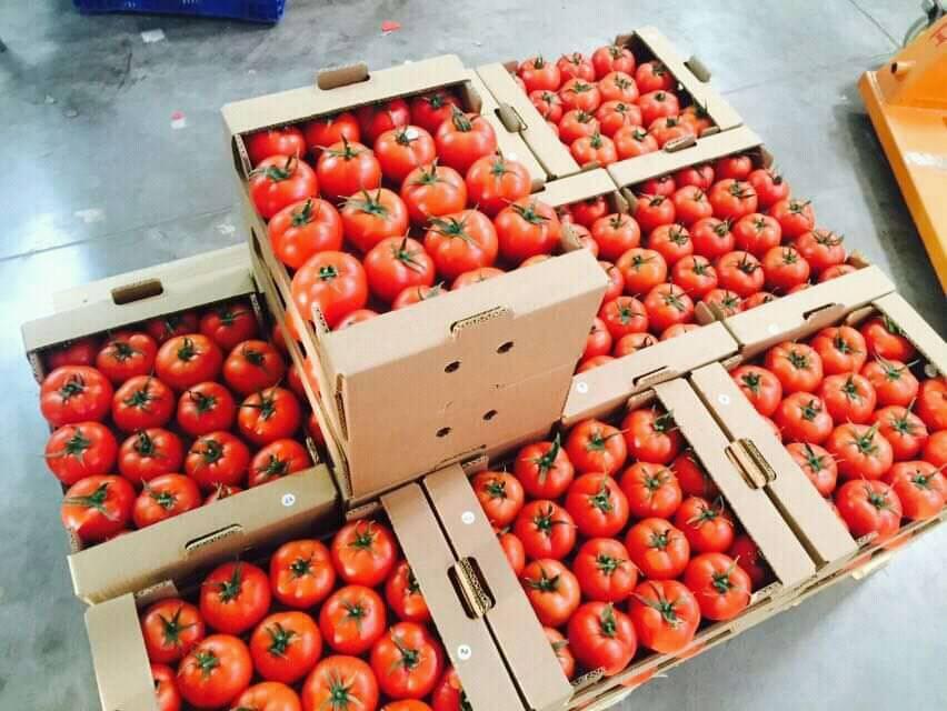 contoh pengemasan panen tomat