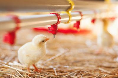 tavuklar susuzluğa ne kadar dayanır