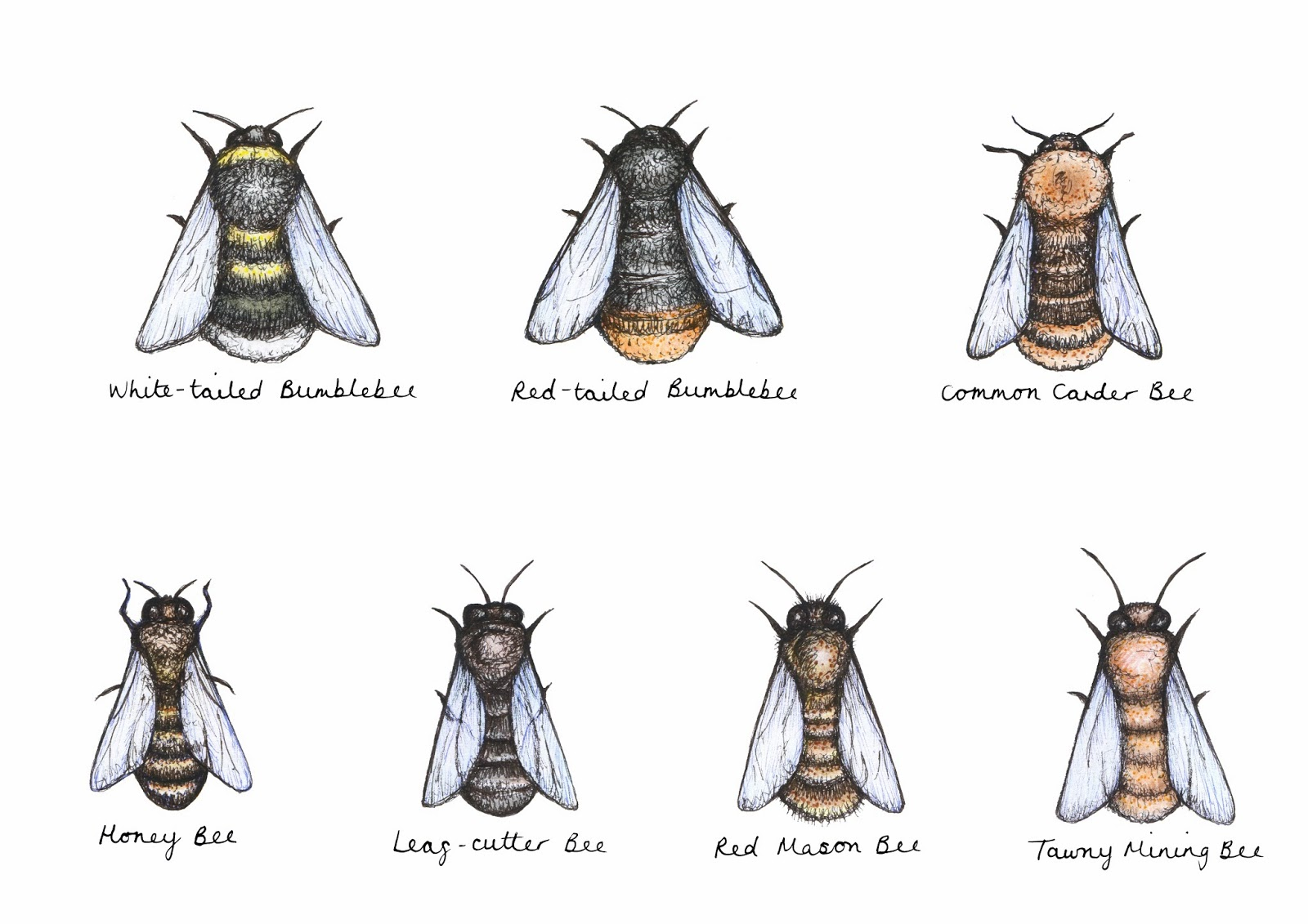 Pictures of Different Kinds of Bees on Animal Picture Society - photo#17