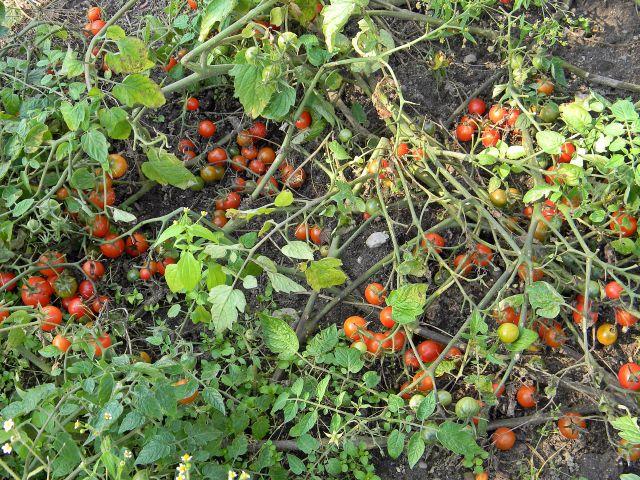 koraliki, warzywa, ogród, uprawa