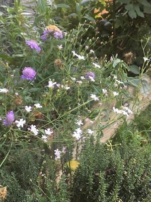 scabiosa butterfly blue dans son  jardin