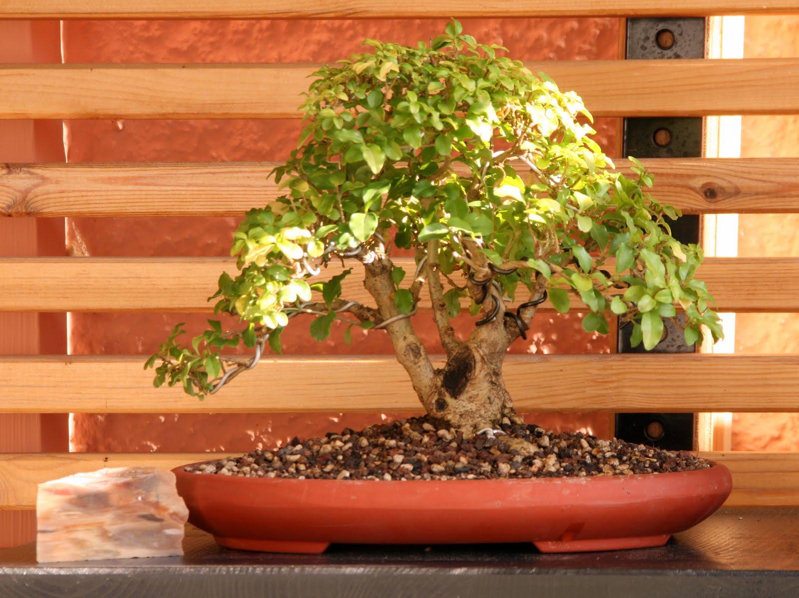 was ist ein bonsai was ist ein bonsai was ist das f r ein bonsai pflanzenbestimmung. Black Bedroom Furniture Sets. Home Design Ideas