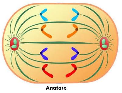 Anafase mitosis - berbagaireviews.com