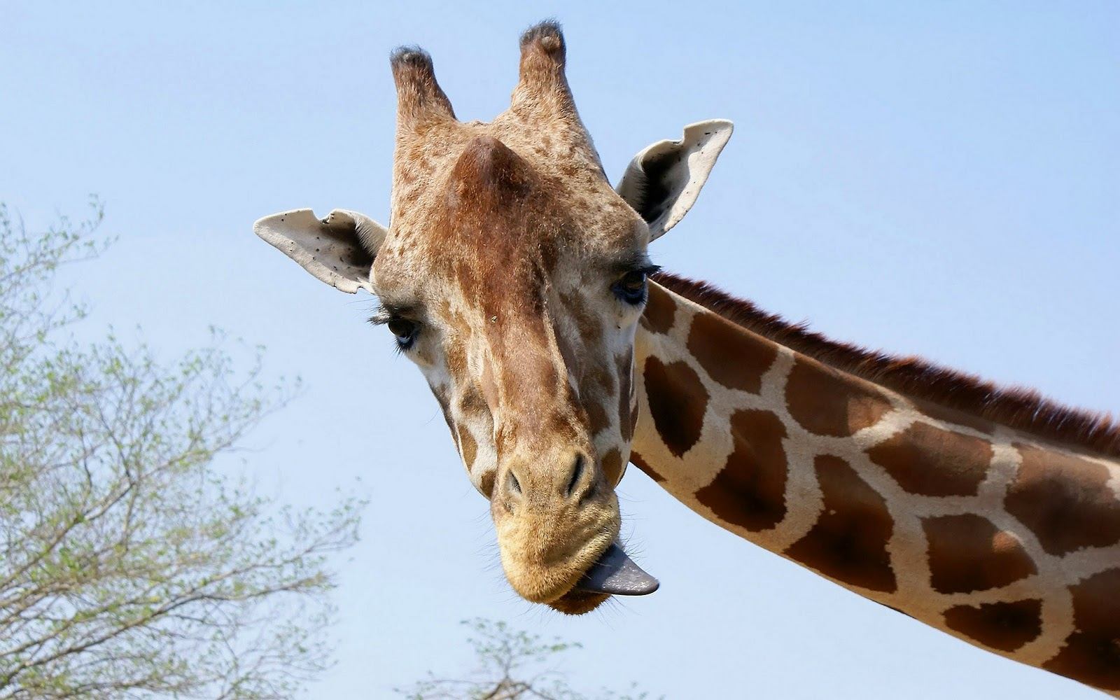 giraffe wallpapers hd pictures - photo #10