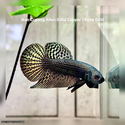 Ikan Cupang Alien Solid Copper / Rose Gold