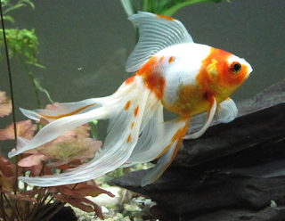 Ikan mas Veiltail
