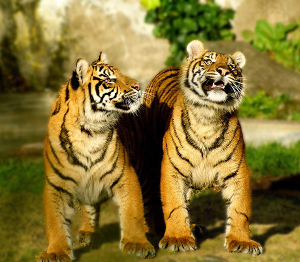 tiger couple ka photo download karna