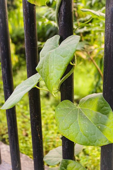 Giloy Leaves | Herbal Arcade