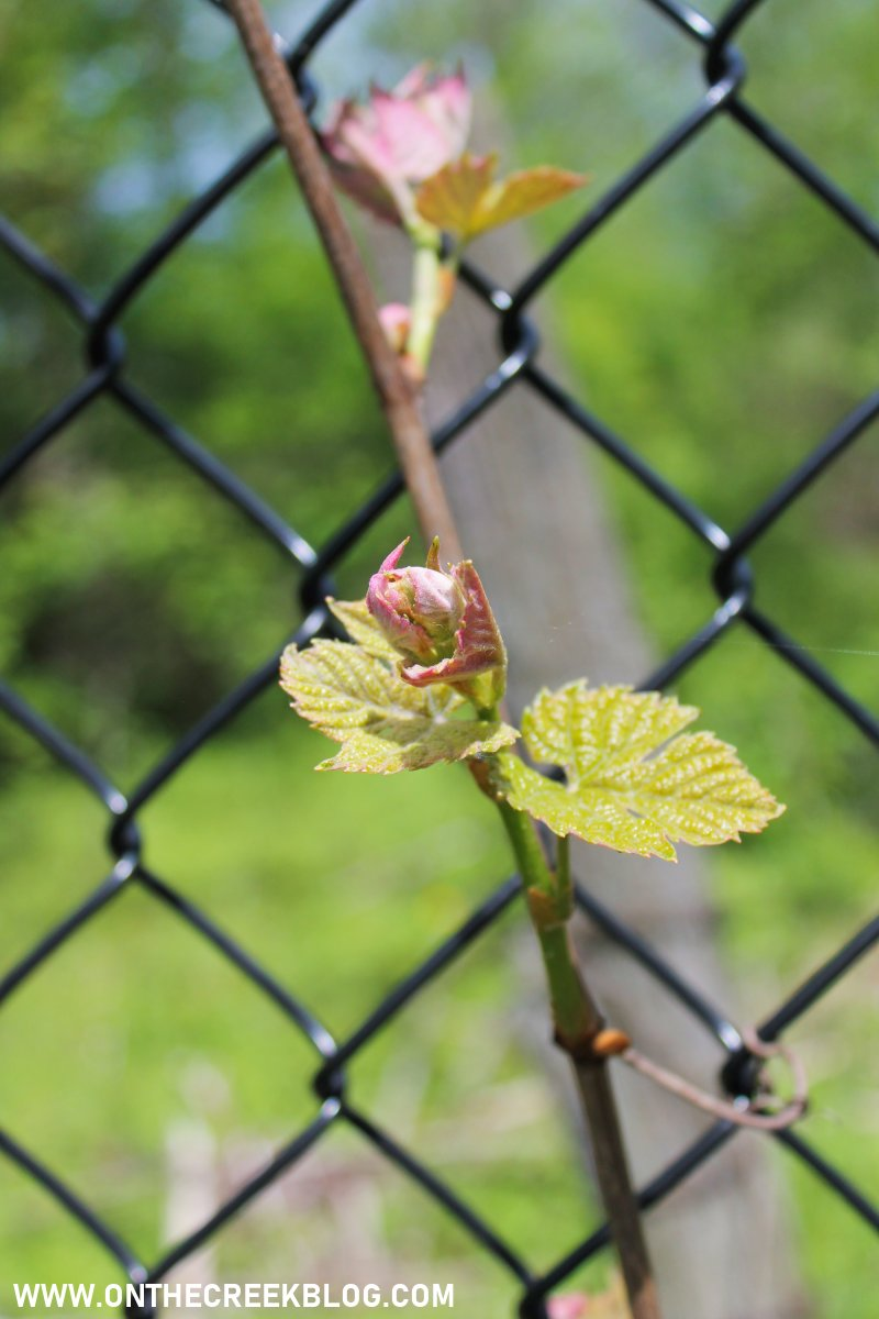 Blooming grape vines!