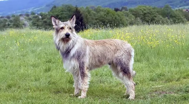 Berger Picard Dog Breed Info: Price, Characteristics, Aggressiveness & Facts