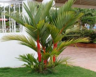 tanaman hias palem