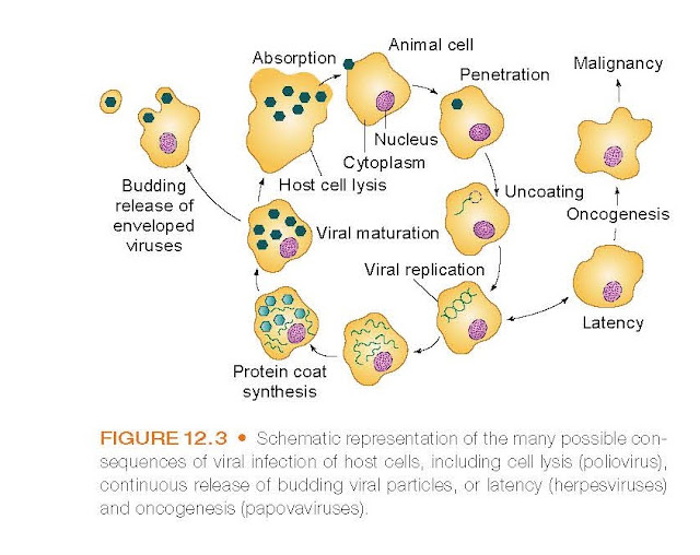 Schematic representation of the many possible consequences of viral infection of host cells, including cell lysis (poliovirus), continuous release of budding viral particles, or latency (herpesviruses) and oncogenesis (papovaviruses).