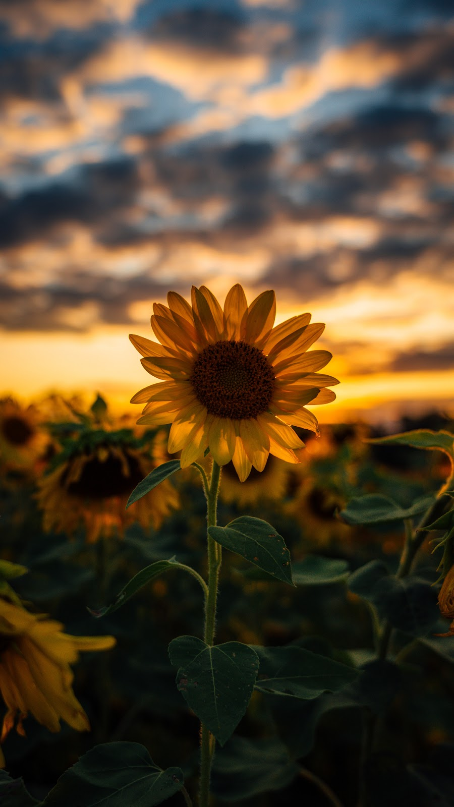 Sunflower wallpaper android