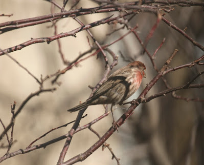 """This photo features a male house finch perched on the branches of a Crabapple tree. A web-page for this bird type describes this bird type by saying, """" House Finch males are more orangey-red with color equally bright on crown, throat, and breast. Red color is mostly restricted to head and upper chest, contrasting with cold gray-brown nape, back, and wings. Pale sides show distinct brown streaks, lacking red tones. Females lack bold face pattern and have more diffuse patterning overall. Often sings loudly in neighborhoods and visits feeders."""" House finches have a backstory in volume one of my book series, """"Words In Our Beak,"""" where I describe how they were nearly wiped off the Eastern seaboard due to issues with their eyesight. Info re my books is in another post on my blog @  https://www.thelastleafgardener.com/2018/10/one-sheet-book-series-info.html"""