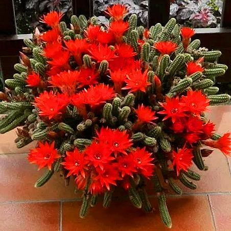 Cactus pequeño ornamental  flores rojas colección maceta y decoración