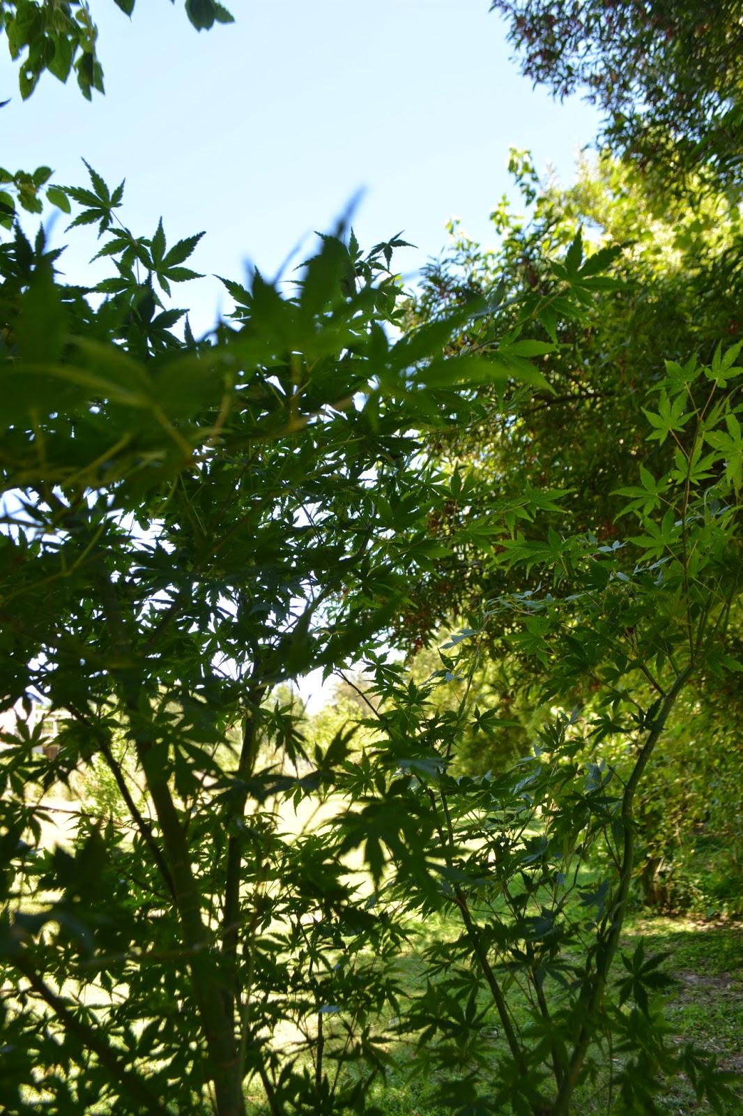 Árboles caducos ornamentales: Acer Palmatum. Arce japonés.