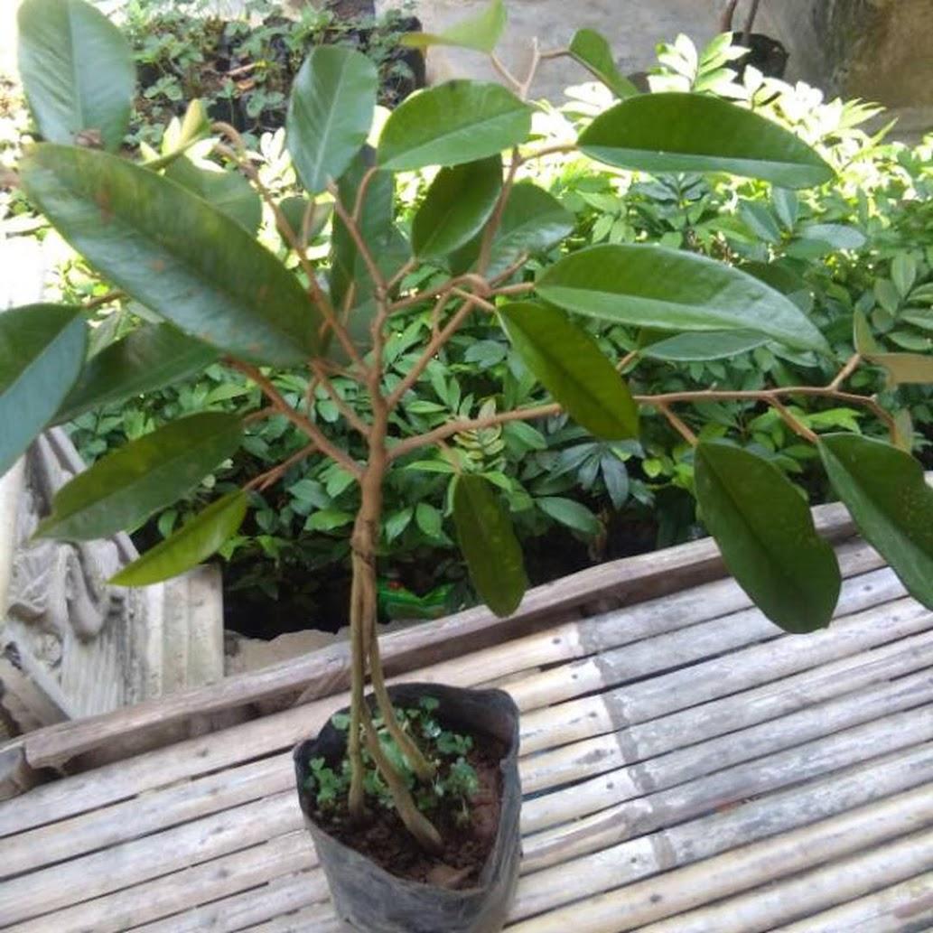 Bibit durian bawor kaki 3 WISATA FLORA Palopo