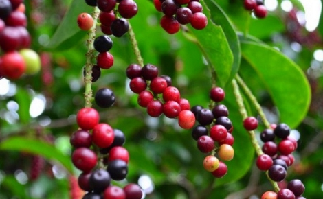 Bisa jadi anda mengetahui buah buni cuman sebagai buah gabungan rujak uleg Manfaat Buah Buni Untuk  Tubuh