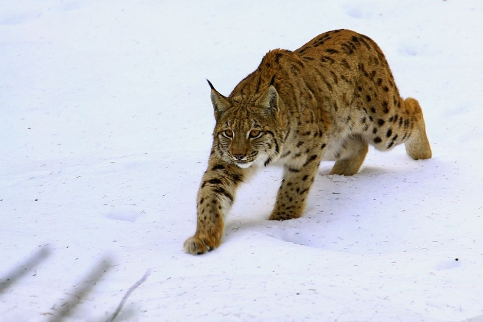 1. Photograph Lynx by Blaz Crepinsek