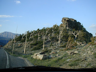 Wind blown trees at summit of Trail Ridge Road, Rocky Mountain National Park