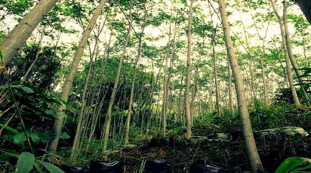 Mengenal Pohon Sengon, Terduga Penyebab Listrik Mati