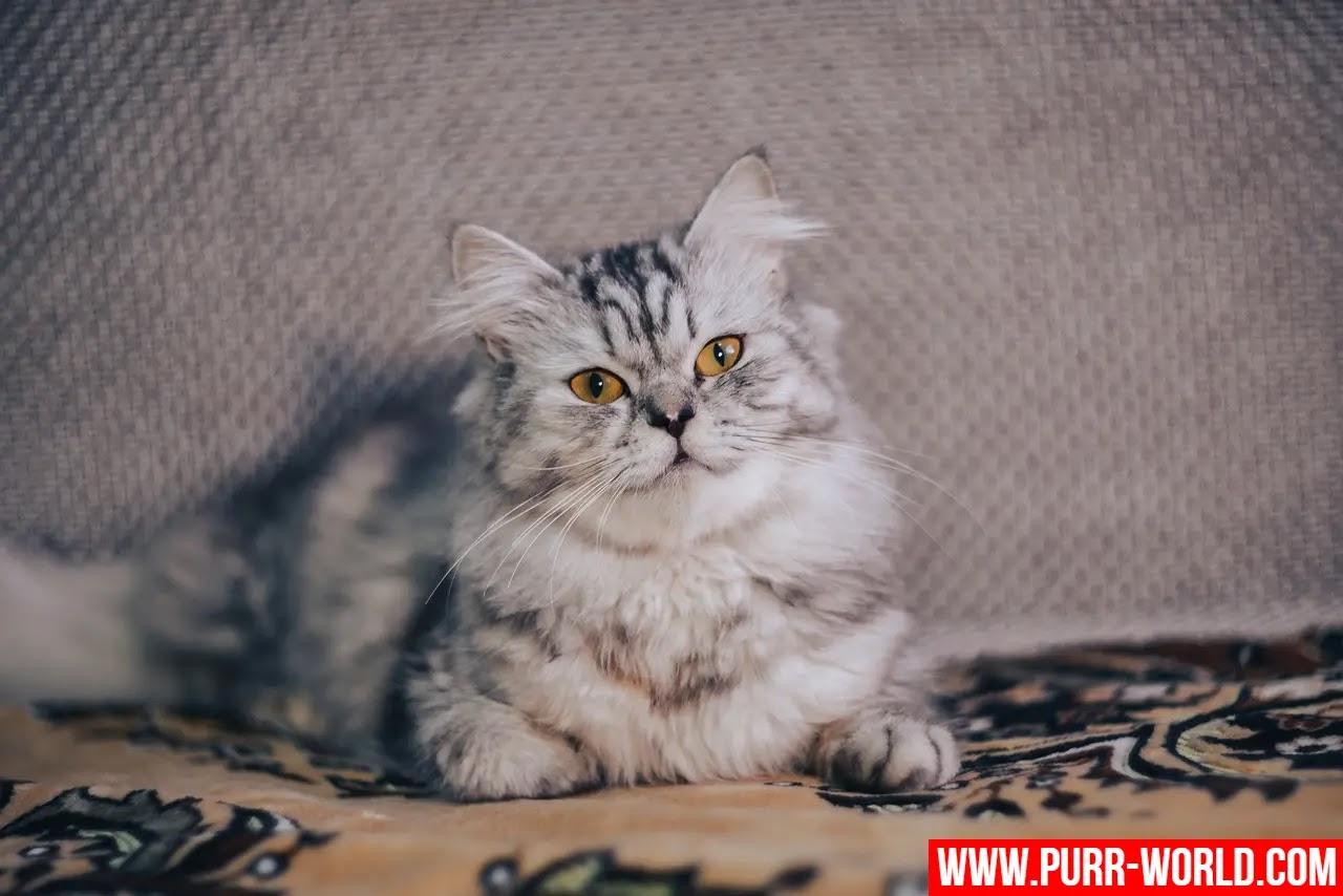 كل شيء عن قطط الشيرازي