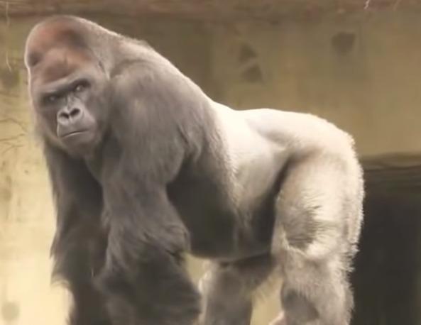 chimpatzis-gorilas-pithikos-to-mystirio-ton-trichoton-giganton