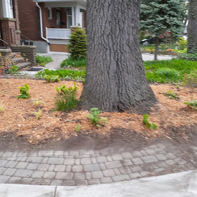 High Park North Toronto New Front Yard Makeover After by Paul Jung Gardening Services--a Toronto Organic Gardener