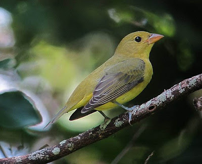 Photo of female or winter male Scarlet Tanager on branch