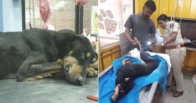 Sau khi bị 4 người đàn ông hiếp dâm tình dục, chú chó được các bác sĩ thú y chữa trị.