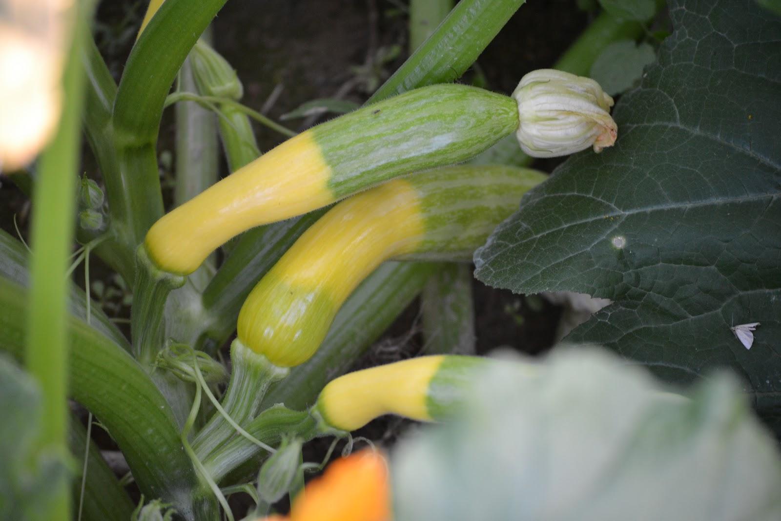 rattle s garden and a little fall summer squash