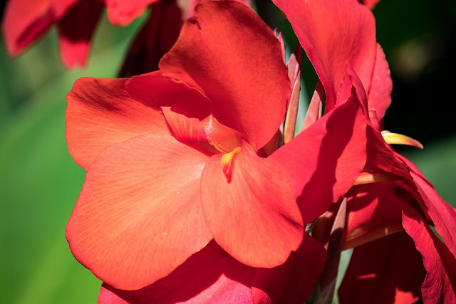 pink canna flower image