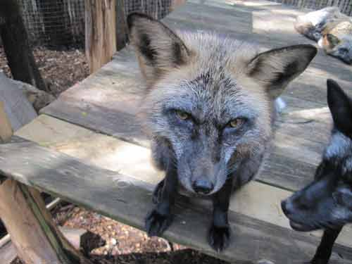 Soper Creek Wildlife Rescue Red Fox Cross.