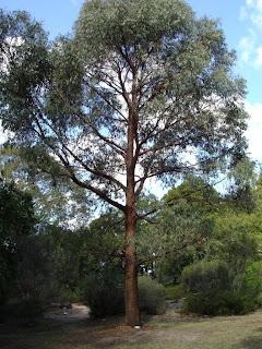 Eucalyptus radiata - Wiki