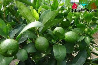 Cara paling mudah menanam dan budidaya jeruk nipis