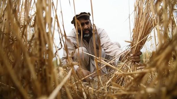 Afghanistan farmer