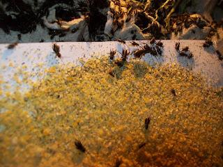 Cara Ternak Jangkrik Paling Mudah Pasti Panen untuk Pemula