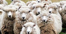 ¿Qué significa soñar con ovejas?