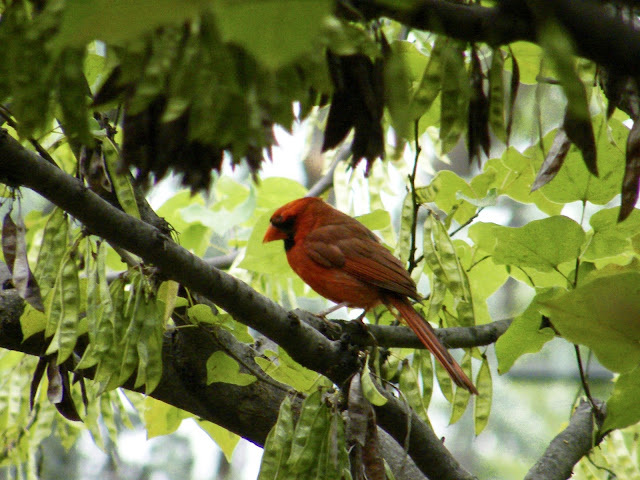 Red cardinal watches my efforts from a redbud tree branch.
