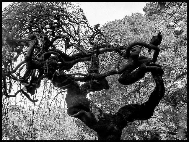 Una paloma y dos fgorriones en la copa de un árbol sin hojas de rara forma.