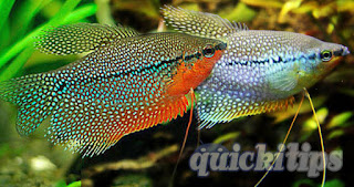 interesting formation about pearl gourami
