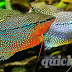 Important Information about Pearl Gourami